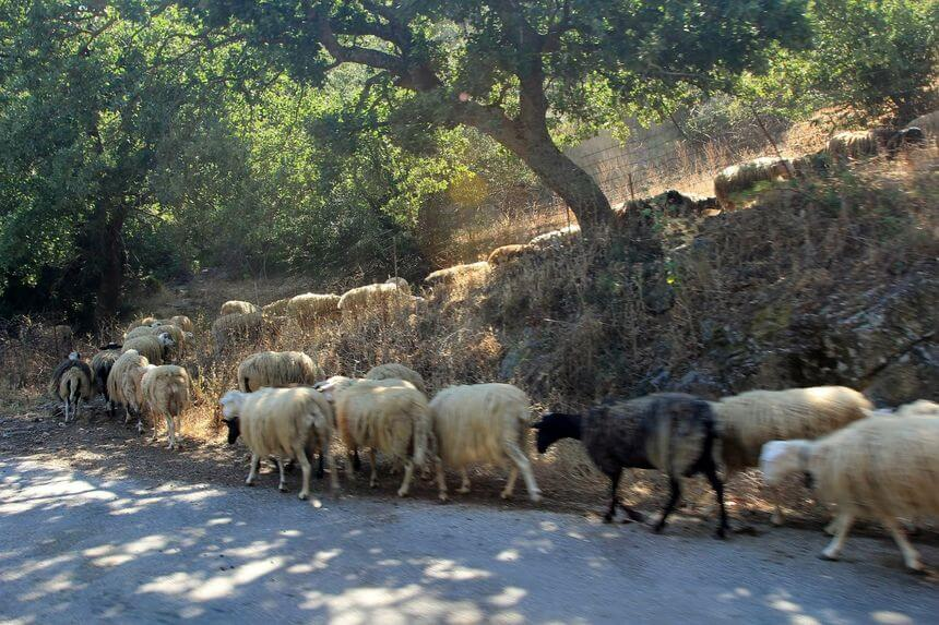 sheep herd in crete