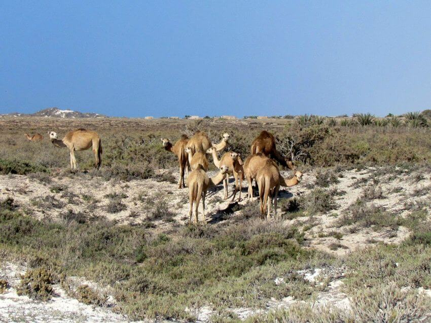 Camels in Wadi Dirhur Canyon